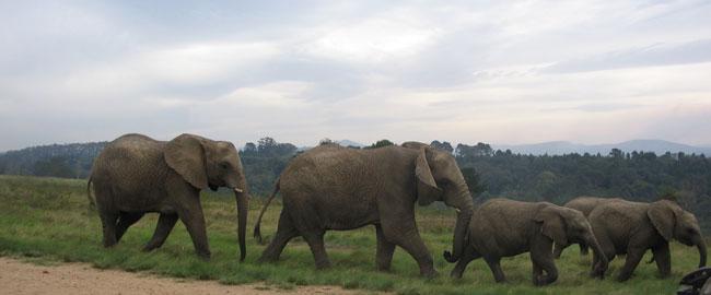 פילים פילון Elephants