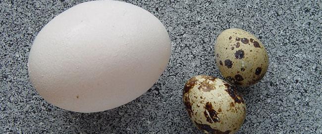 ביצים אוכל תרנגולת eggs