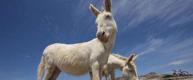 חמור לבן white-donkey