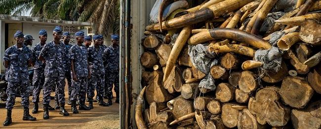 משלוח שנהב נתפס בגבול רפובליקת טוגו, 2014 אפריקה פילים ציד ivory6_1536