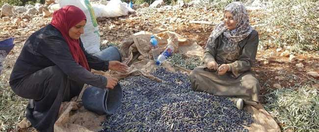 מסיק בדיר אל חטאב, אוקטובר 2016 (צילום: שומרי משפט) פלסטינים כיבוש סולידריות זיתים mesik1610